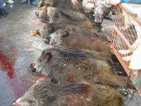 Lov na divlje svinje - Jasika